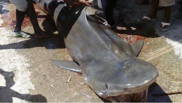 Pescadores atrapan tiburón de mil 900 libras en  mar Caribe
