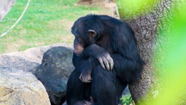 Gobierno de EE.UU. pone fin al uso de chimpancés para la investigación médica