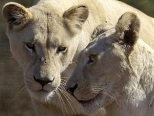 En los últimos 50 años los leones han perdido el 75% de su hábitat.