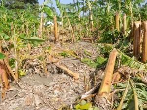 Las plantaciones de plátano han sido afectadas por prácticamente todos los fenómenos naturales que cruzan por el país.