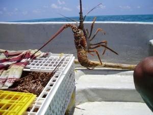 Pescadores extrajeron en el 2011 8.600 toneladas de langosta, con un valor de 100 millones de dólares.
