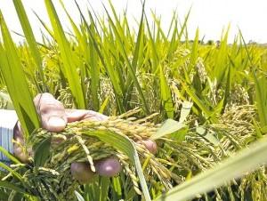 El cultivo de arroz fue uno de los más afectados el año pasado.