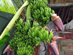 En el patio de la residencia del odontólogo Osvaldo Tejada, en Los Próceres, una mata de guineo parió 8 racimos. Rafael Ortiz, experto en musáceas, dijo que hay hormonas que pueden hacer que el tallo floral ramifique y de ahí salgan varios.