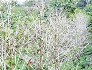 Plantación de café afectada.