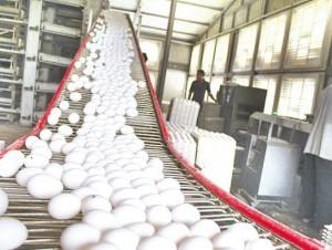 Huevos de una granja del Cibao.