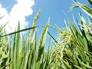 Oficialmente la RD no ha exportado semillas de arroz a la isla de Puerto Rico.
