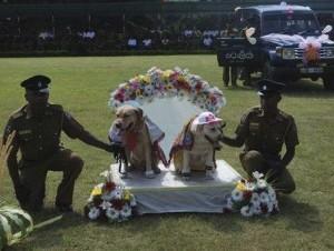Ceremonia. La Policía casó a nueve parejas de perros policiales en Kandy, Sri Lanka.