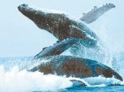 La visita de las ballenas se ha convertido en un atractivo turístico.