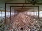 En RD se busca la sanidad avícola.