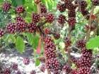 En Hato Mayor (Este del país) la firma Agrocafé del Caribe tiene plantaciones de alta producción y resistencia.