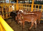 Becerros nacidos en su programa de mejoramiento genético en el Laboratorio de Biotecnología y Reproducción Animal CEAGANA FIV.