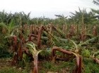 Plantaciones afectadas.