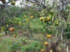 Entre los daños que provoca la enfermedad se encuentran las deformaciones en los brotes y coloraciones variadas en los frutos.