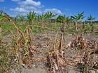 La condición que presenta esta finca en Azua, es la misma de otras del país.