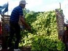 El precio del guineo se ha triplicado en los mercados en las últimas semanas.
