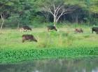 Vacas y caballos son criados en la ribera del río Yaque.