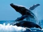 Las ballenas llegan a pesar 40 toneladas.