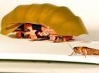 Foto de un robot que tiene las funciones móviles de una cucaracha, al lado de un animalito de verdad. Foto suministrada por PolyPEDAL Lab UC Berkeley.