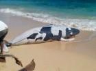 El ballenato tenía  4.35 metros de largo. (Fotografía de Samaná Natural)