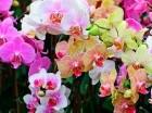 Las orquídeas estarán presentes en sus diferentes variedades.