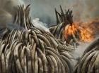 Montañas de marfil son quemadas en una acción del gobierno de Kenia para combatir el tráfico ilegal del producto.